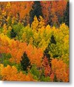 Quaking Aspen And Ponderosa Pine Trees Metal Print