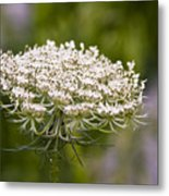 Queen Anne's Lace 2 Metal Print