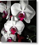 Queen Orchid Metal Print