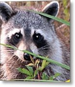 Raccoon 3 Metal Print