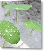 Raindrops On A Nasturtium Leaf Metal Print