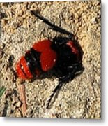 Red Burrowing Insect Metal Print