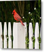 Red Cardinal--white Fence Metal Print