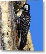 Red Cockaded Woodpecker Mother Feeding Metal Print