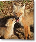 Red Fox Vixen With Pup On Hecla Island In Manitoba Metal Print