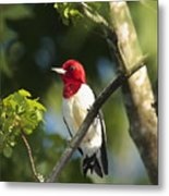 Red-headed Woodpecker Perched On A Tree Metal Print by George Grall