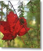 Red Maple Leaf On Hemlock Metal Print