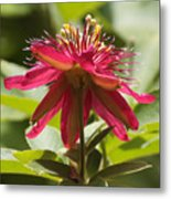 Red Passion Flower Metal Print