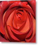 Red Rose Up Close Metal Print