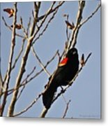 Red Winged Black Bird Metal Print