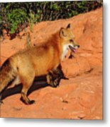 Redtailed Fox Metal Print