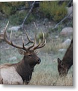Rocky Mountain Bull Elk And Cow Metal Print
