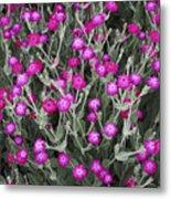 Rose Campion Metal Print