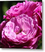 Rose Pink Purple Roses Flowers 1 Rose Garden Sunlit Flowers Baslee Troutman Metal Print