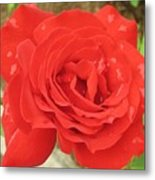 Rose With Dew Metal Print