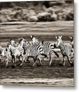 Running Zebras, Serengeti National Metal Print by Carson Ganci
