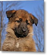 Sable German Shepherd Puppy II Metal Print by Sandy Keeton