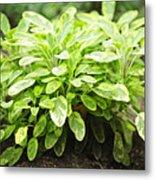 Sage Plant Metal Print