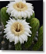 Saguaro Blooms II Metal Print