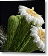 Saguaro Blooms  Metal Print