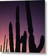 Saguaro Cactus Are Silhouetted By An Metal Print
