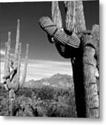 Saguaro Metal Print