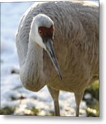 Sandhill Crane In Winter Metal Print