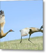Sandhill Cranes Taking Flight Metal Print