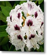 Sappho Rhododendron Metal Print
