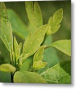 Sassafras Tree Metal Print