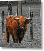 Scottish Highlander Metal Print