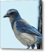 Scrub Jay Close Up Metal Print