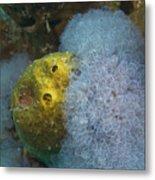 Sea Anemone On Pedernales Wreck In Aruba Metal Print