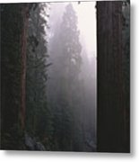 Sequoia Trees Dwarf A Car Traveling Metal Print by Carsten Peter