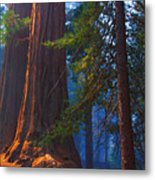 Sequoias On Blue Metal Print