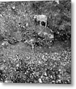 Sheep In Bw Metal Print