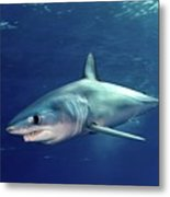 Shortfin Mako Sharks Metal Print