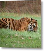 Siberian Tiger Checking Scent Metal Print
