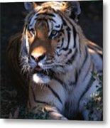 Siberian Tiger Executive Portrait Metal Print
