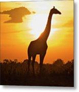 Silhouette Giraffe At Sunset Metal Print by Joost Notten
