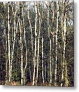 Silver Birch Trees Metal Print