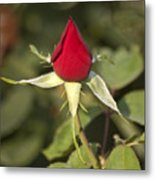 Single Bright Red Rose Bud Metal Print