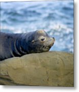 Sleeping Sea Lion Metal Print