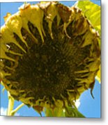 Sleeping Sunflower Metal Print