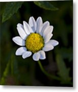Small Daisy Metal Print