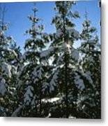 Snow-covered Pine Trees Metal Print by Taylor S. Kennedy