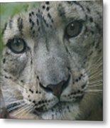 Snow Leopard 10 Metal Print