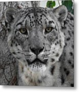 Snow Leopard 5 Posterized Metal Print