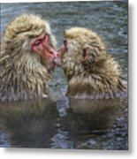Snow Monkey Kisses Metal Print