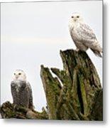 Snow Owls Of Boundary Bay Metal Print